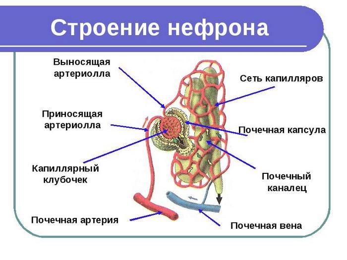 структурной и функциональной единицей почки является