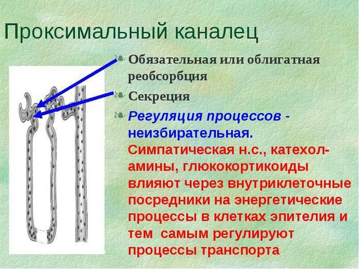 структурно функциональной единицей почки является