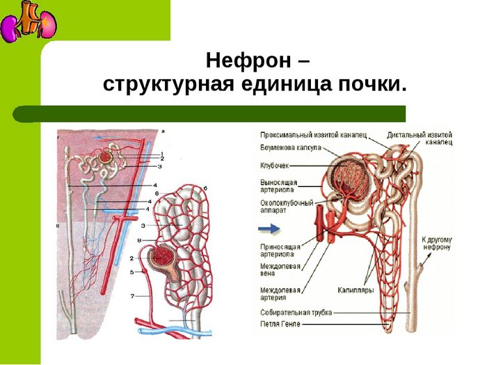 устройство почки человека