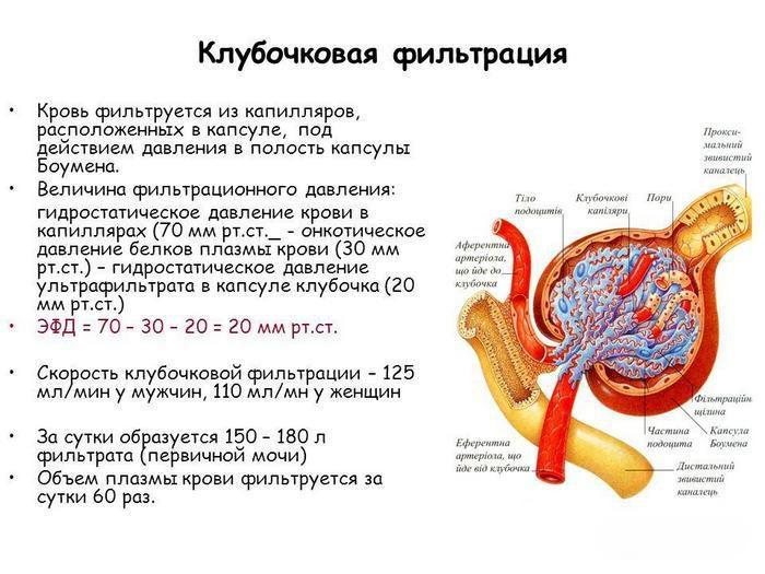 в состав почечного тельца входит
