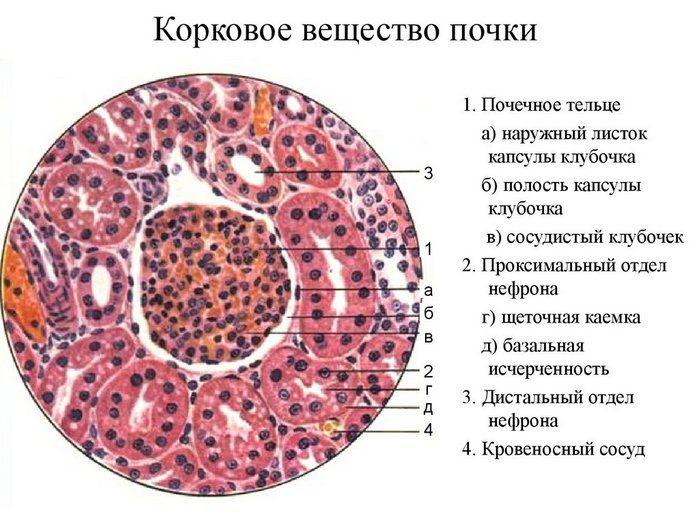 мозговое вещество почки содержит